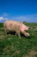 Den tamme gris stammer fra vildsvinet